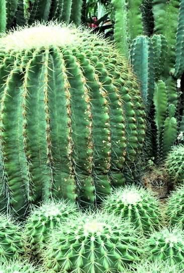故乡在南美洲原产在高热少雨的沙漠地带的仙人球