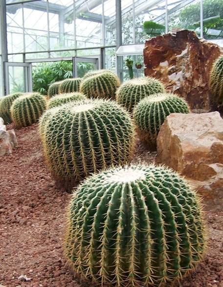 形态优美雅致可分为多类的植物仙人球