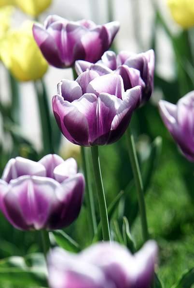 不同的地区郁金香的花期也是各不相同