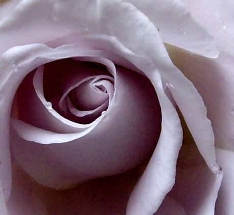 紫玫瑰的应用-紫色的小花蕾在壶中好似无数的花仙子