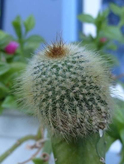 生活在干燥地区茎通常肥厚含叶绿素的植物仙人掌