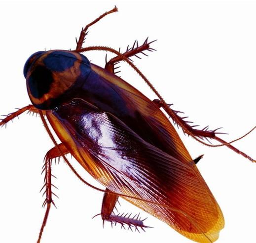 蟑螂是怎么存活的喜欢选择温暖潮湿食物丰富的位置