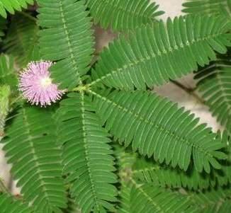 家居花卉知识之观叶植物含羞草的别名介绍