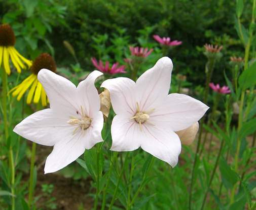 怎么盆栽种植桔梗花与桔梗花的种植方法法介绍