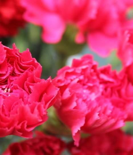 康乃馨代是母亲节的象征对于母爱的象征