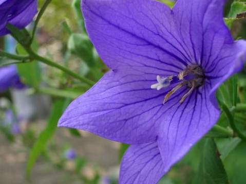 桔梗花的传说-开花代表着幸福再度降临
