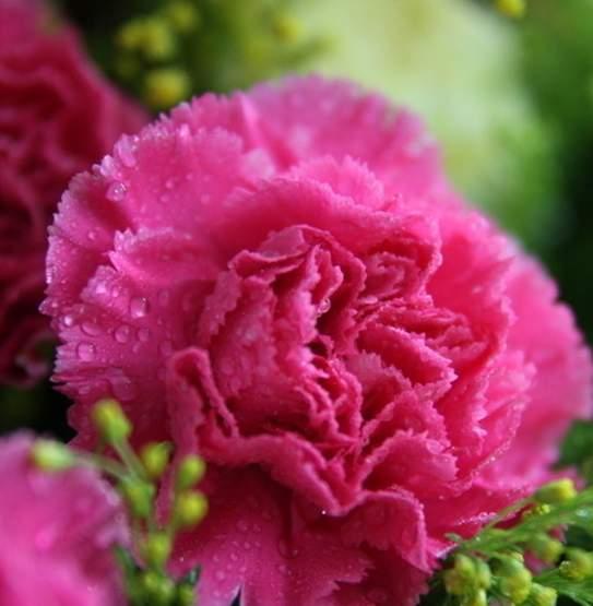 康乃馨最受欢迎的切花之一代表了健康与美好