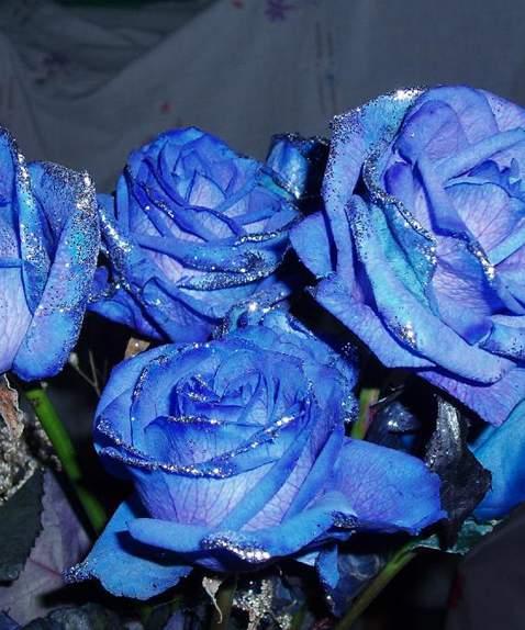 让花像吸水一样将色剂吸入进行染色的蓝玫瑰