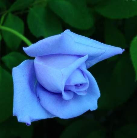天然蓝玫瑰是一种转基因的玫瑰品种