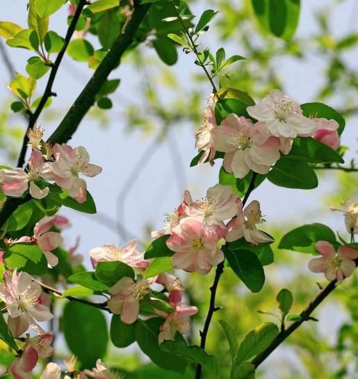 海棠自古以来是雅俗共赏的名花素有花中神仙之称