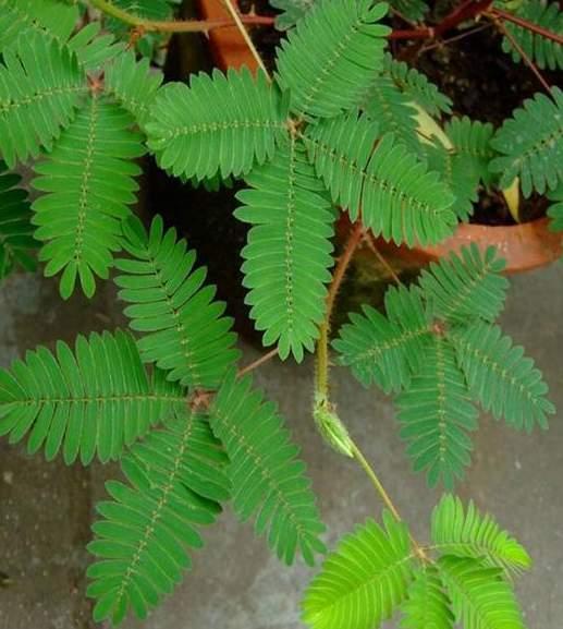 含羞草叶为羽毛状复叶互生呈掌状排列