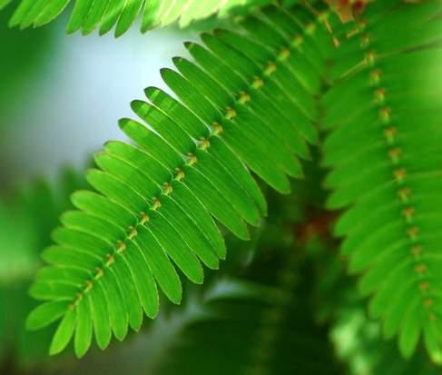 在受到外界触动时叶柄下垂的植物含羞草
