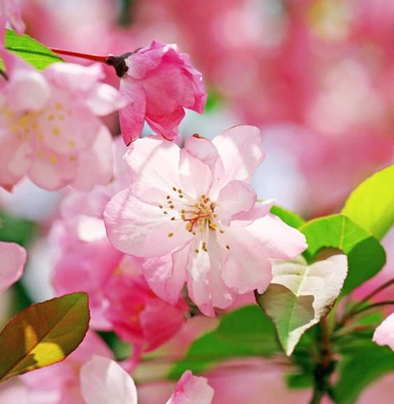 以海棠来命名的其他植物秋海棠和四季海棠