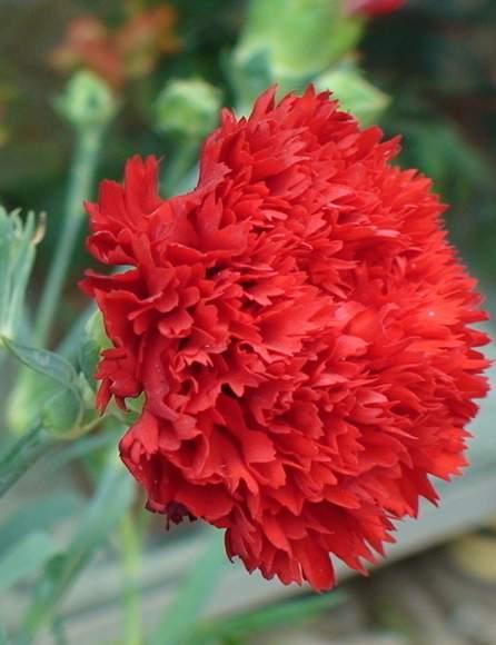 因花瓣具繸缘及香郁气味而闻名的康乃馨