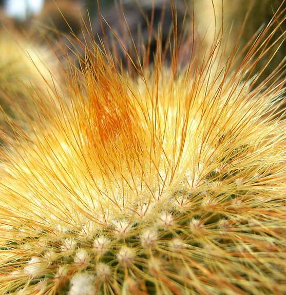 圆球状到椭圆柱状常用于盆栽观赏的仙人球