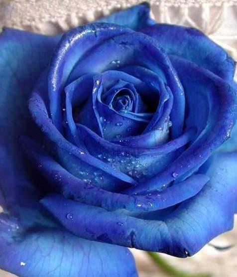紫玫瑰的镇静与从容香气和甜润