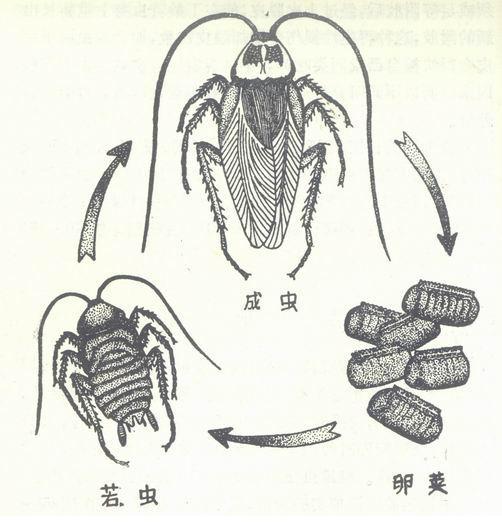 蟑螂怎么消灭