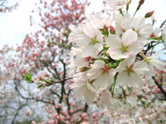 海棠花冬季花展 妆点莫愁湖公园