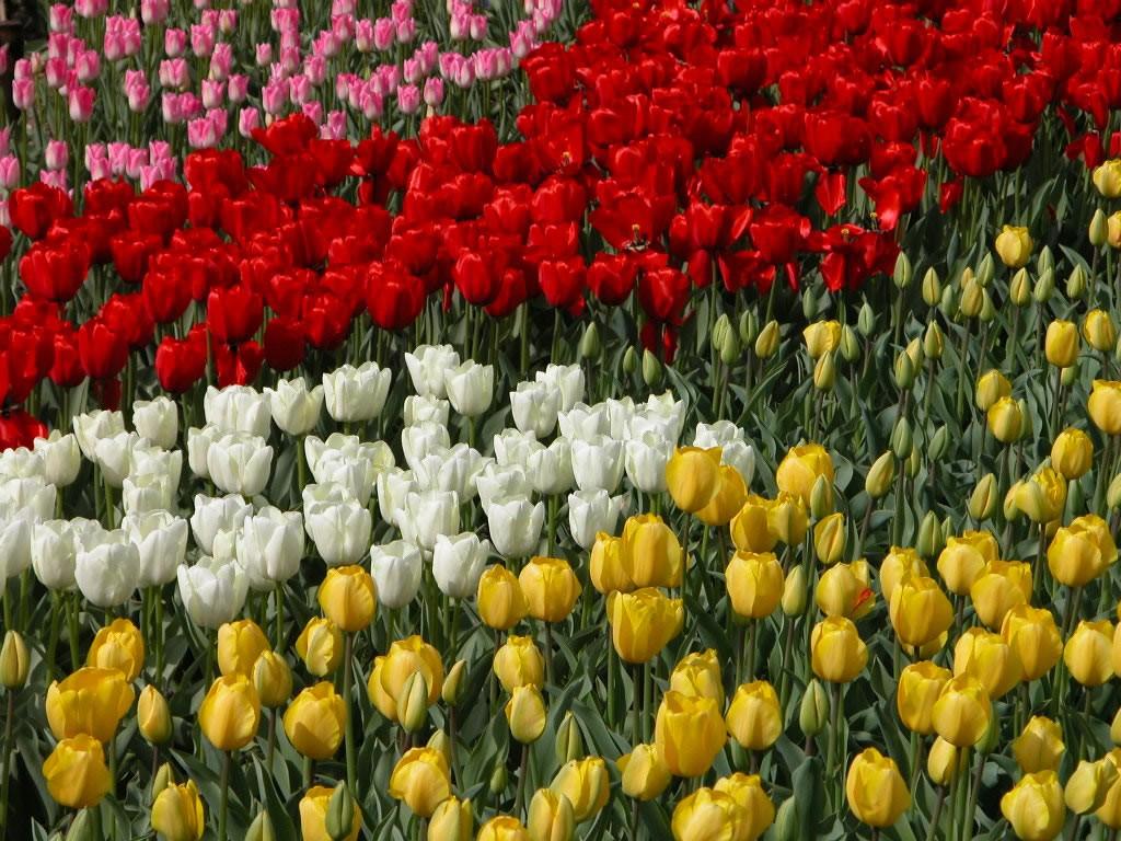 十五万株郁金香 喜迎新春到来