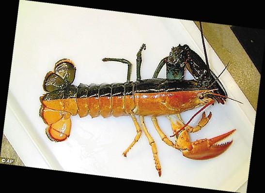 双色龙虾 分析称可能是雌雄同体