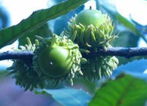 榛子树和橡子树的区别?榛子就是一种树的果实吗?