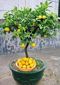 盆栽金桔怎么种植,需要注意些什么?