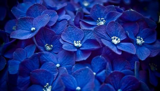 蓝色妖姬花语及其朵数的含义介绍