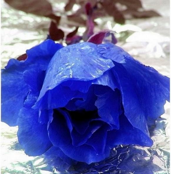 蓝色妖姬动人的不仅是外表_寓意更具内涵