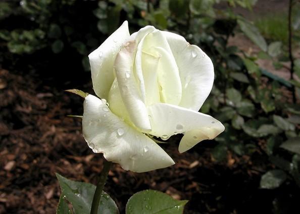 白玫瑰代表什么意思_送白玫瑰的意义详解