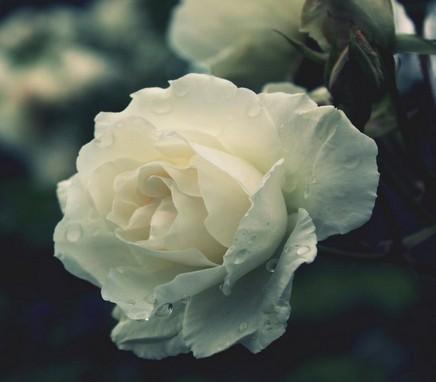 白玫瑰代表什么意思_热恋中最适合送哪种玫瑰