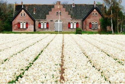 荷兰郁金香花田1