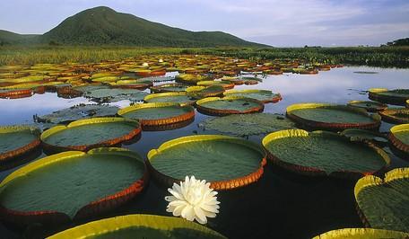 巴西的睡莲湖