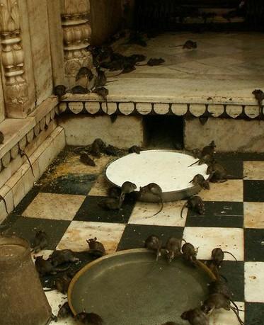 印度的老鼠