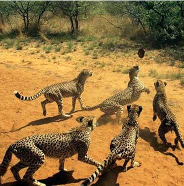 在纳米比亚沙漠内捕捉沙蛇